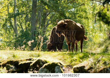 Backlit European Bison (bison Bonasus)