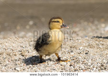 Portrait of a cute baby duck.