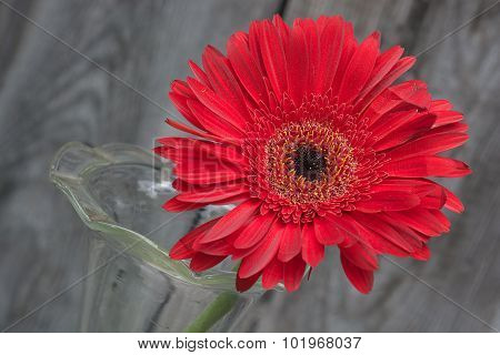 Red Gerbera Closeup
