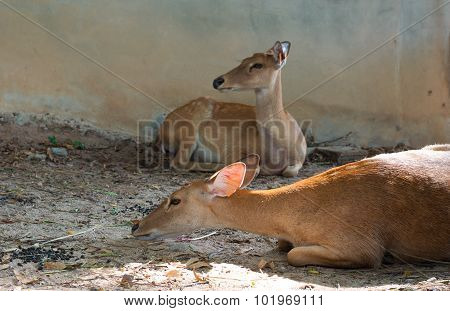 Young Swamp Deer Or Rucervus Duvaucelii Are Crouch Waiting A Food