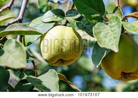 Ripening Sweet Quince Fruits Growing On A Quince Tree Branch