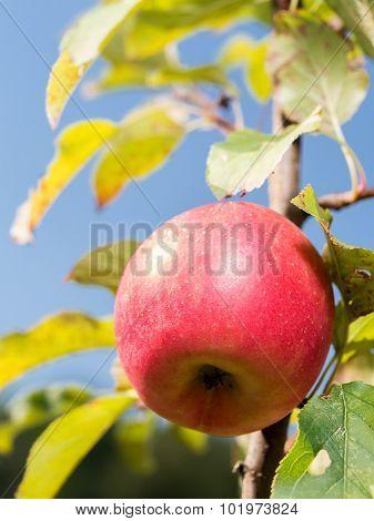 Cox orange pippin apple rippening on tree