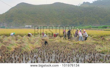 Asian People Working On Rice Field In Vietnam