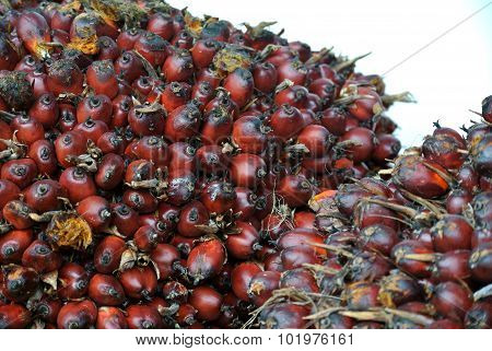 Close-up view of palm oil fruit bunches
