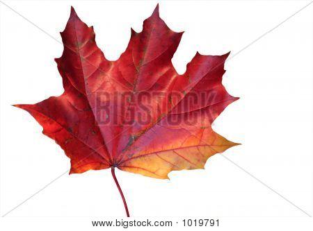 Maple' Leave