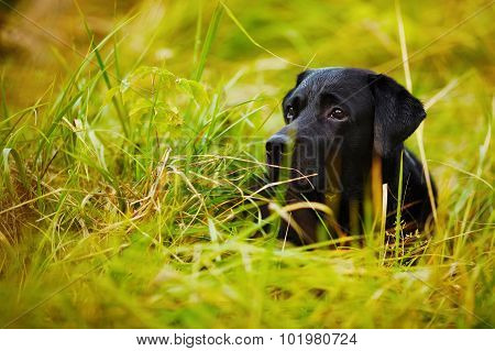 Black Labrador Hiding In The Grass