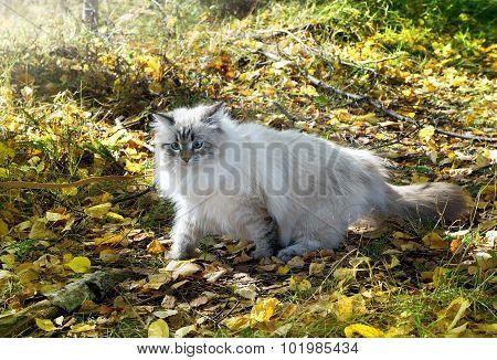 Siberian Nevsky Cat