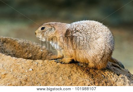Black-tailed Prairie Dog