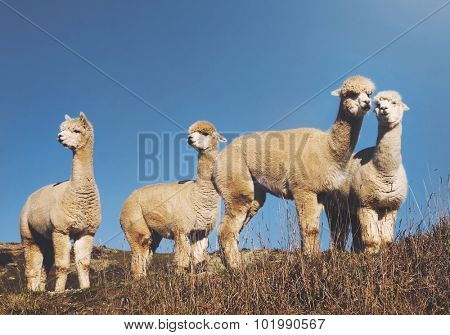 Herd Lamas Wilderness Alpaca Animal Livestock Rural Concept