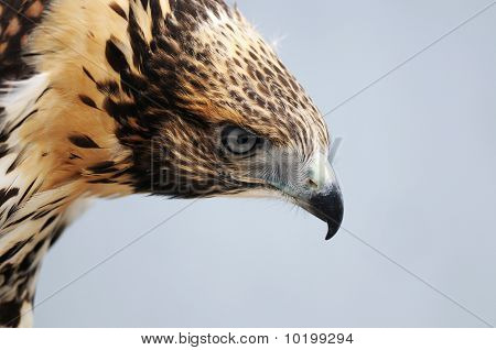 Young Red Tailed  Hawk Head Only