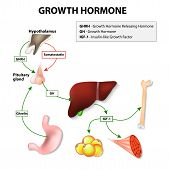 Постер, плакат: Human Growth Hormone