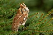stock photo of screech-owl  - A capture of an eastern screech owl perched in a tree - JPG