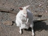picture of tammar wallaby  - a very rare endangered tammar albino wallaby - JPG