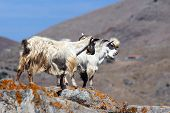 stock photo of cashmere goat  - Two white shawl goats on the rock - JPG