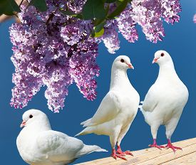image of pigeon  - Beautiful view of three white pigeons on perch with flowering lilac tree background imperial pigeon ducula - JPG