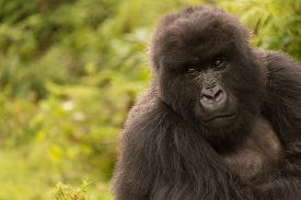 picture of gorilla  - A gorilla in the forest of the Parc National des Volcans in Rwanda looks mournfully into the distance - JPG