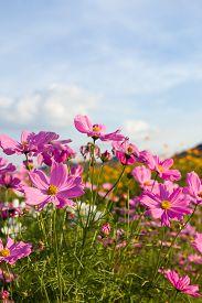 stock photo of cosmos flowers  - Pink cosmos flower family fompositae cosmos flower in field - JPG