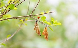 picture of cocoon tree  - chrysalis hanging on the branch in the park