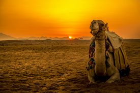 image of camel  - Camel in front of sunset in Hurghada - JPG