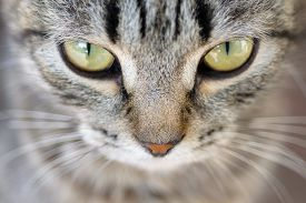 picture of hypnotic  - Closeup of Hypnotic Cat Eyes - JPG