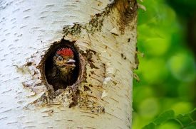 foto of woodpecker  - Young great spotted woodpecker looking out from holein birch tree with green background - JPG