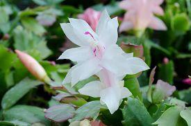 pic of schlumbergera  - Close up Christmas Cactus  - JPG