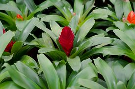 pic of bromeliad  - red pineapple flower blooming in garden, bromeliad flower