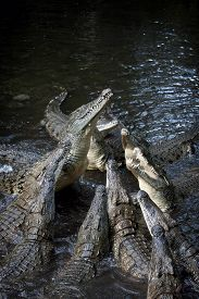 pic of crocodile  - Group crocodile in river - JPG