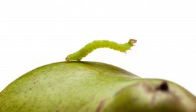 stock photo of inchworm  - Small codling moth caterpillar on green pear isolated on white - JPG