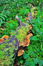 stock photo of parasite  - Ganoderma lucidum parasitic fungus over the trunk in the forest - JPG