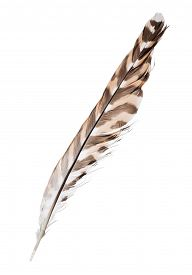 stock photo of falcons  - variegated falcon feather isolated on white background - JPG