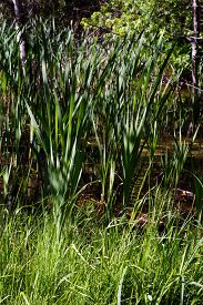 picture of cattail  - Cattails growing in a swamp in Harbor Springs, Michigan ** Note: Shallow depth of field - JPG