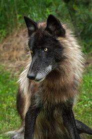 stock photo of lupus  - Black Phase Grey Wolf  - JPG