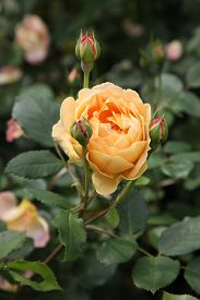 stock photo of english rose  - Beautiful English Roses in garden setting surrounded by green leaves - JPG