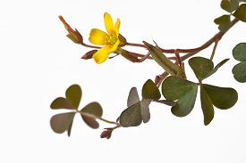 stock photo of sorrel  - sorrel on a white background in clos up - JPG