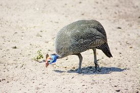 stock photo of guinea fowl  - Closeup of One Guinea Fowl walking in the Sand - JPG