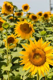 pic of heliotrope  - Field of blooming sunflowers in the Provence France  - JPG