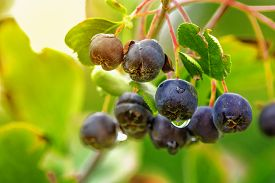 stock photo of orchard  - Aronia or black chokeberry berry fruit on branch in organic orchard selective focus - JPG
