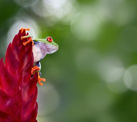 stock photo of red eye tree frog  - red eyed tree frog from the tropical jungle of Costa RIca and Panama  macro of an exotic rain forest animal - JPG