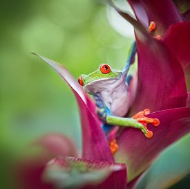 picture of red eye tree frog  - red eyed tree frog from the tropical jungle of Costa RIca - JPG