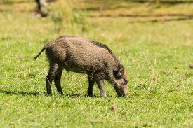 pic of boar  - One young wild boar  - JPG