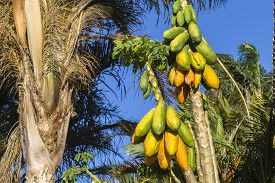 image of papaya fruit  - Papaya fruit on trees readay for harvest - JPG
