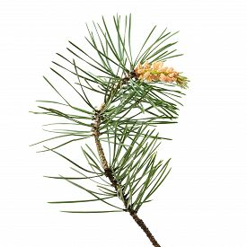 picture of pinus  - Pinus sylvestris branch isolated on white background - JPG