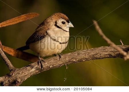 animal, avian, bird, double-barred finch, finch, nature, perching, tame, together, white, white rump