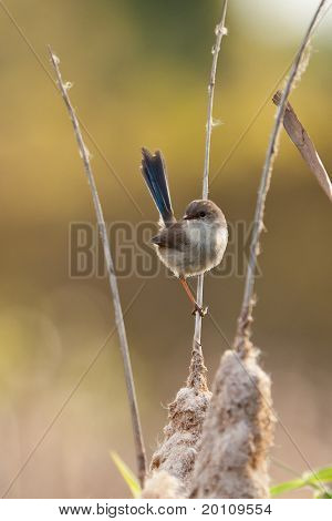 immature superb fairy wren