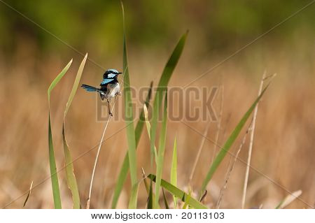 Superb-fairy wren