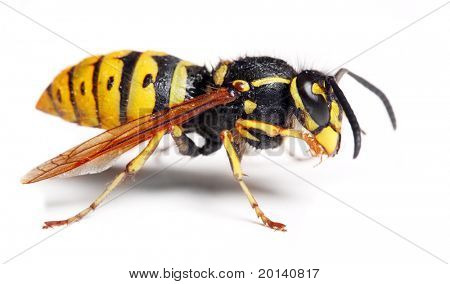 The German wasp (Vespula germanica) on white background. Close up with shalow DOF.
