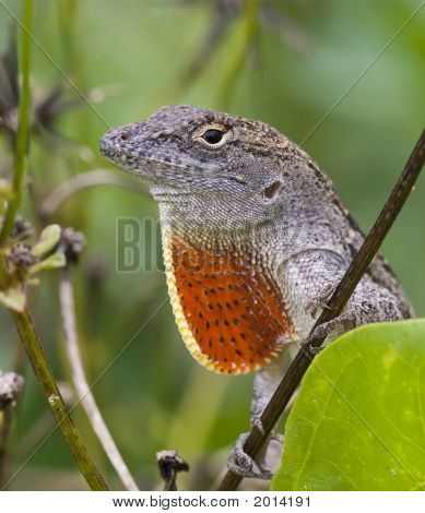 Close-Up Of A Cuban Brown Anole Lizard.