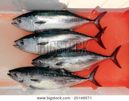 vier blutige Bluefin-Thunfisch, Thunnus Thynnus fangen Zeile