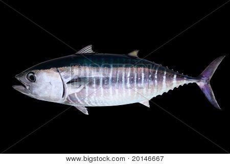 Thun isoliert auf schwarzem Hintergrund echte Fische Thunnus thynnus